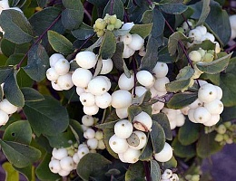 Снежноягодник Доренбоза 'Вайт Хедж' Symphoricarpos doorenbosii 'White Hedge'
