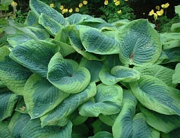 Хоста Зибольда 'Френсис Вильямс' Hosta sieboldiana 'Frances Williams'